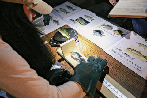 Female student measuring a fish on a table