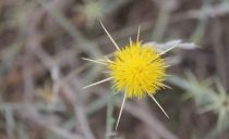 Yellow starthistle, an invasive species found in nearby Washington State. Photo by Dr. David Clements.